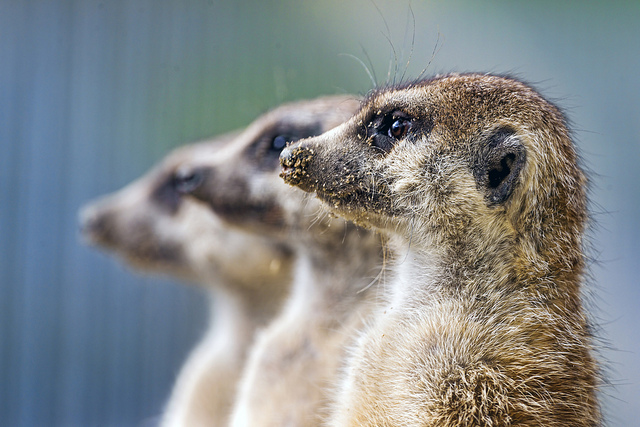 Three meerkats by Tambako The Jaguar (Flickr)